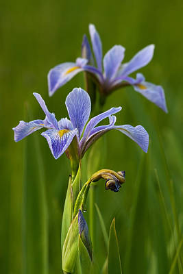 Photograph - Wild Blue Flag Iris by Dale Kincaid