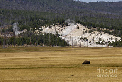 Wild Buffalo Yellowstone National Park Art Print
