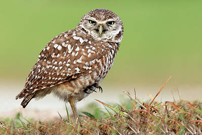 One Leg Photograph - Wild Burrowing Owl Balancing On One Leg by Mlorenzphotography