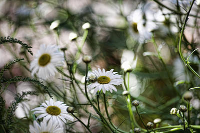 Daisy Bud Photograph - Wild Daisies by Bonnie Bruno