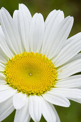 Photograph - Wild Daisy by Bob Decker