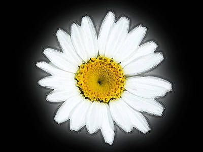 Photograph - Wild Daisy Flower by Cliff Norton