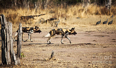 Photograph - Wild Dogs by Gualtiero Boffi