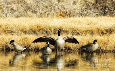 Photograph - Wild Geese by Gary Rose