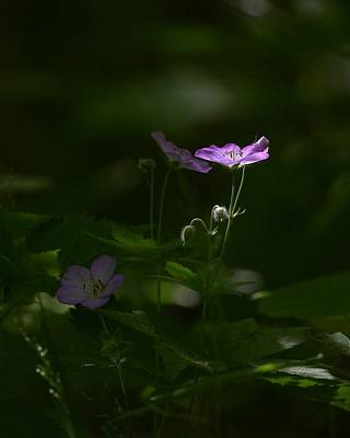 Photograph - Wild Geranium In Woodland Light by Michael Dougherty