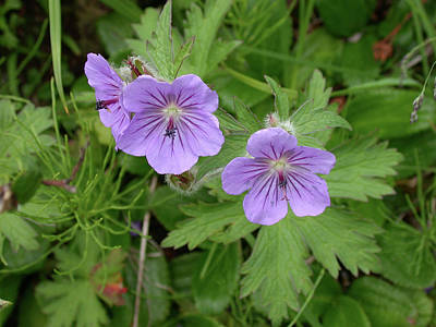 Photograph - Wild Geraniums by Jan Piet