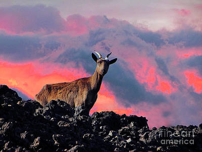 Photograph - Wild Goat At Sunset by Bette Phelan