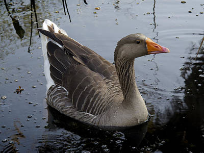 Art Print featuring the photograph Wild Greylag Goose by Lynn Palmer