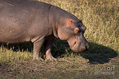 Art Print featuring the photograph Wild Hippopotamus by Karen Lee Ensley