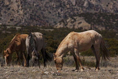 Photograph - Wild Horses Bighorn Canyon National Recreation Area by Benjamin Dahl