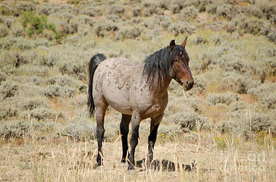 Photograph - Wild Horses Wyoming - The Mare by Donna Greene