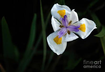 Wild Iris Art Print by Kaye Menner