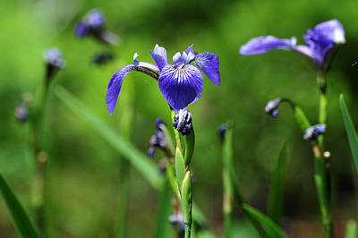 Photograph - Wild Iris by Peter DeFina
