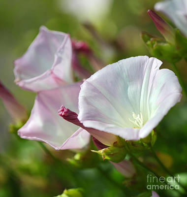 Photograph - Wild Morning Glory Calystegia Macrostegia by Nicholas Burningham
