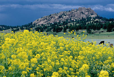 Photograph - Wild Mustard by James Steinberg and Photo Researchers