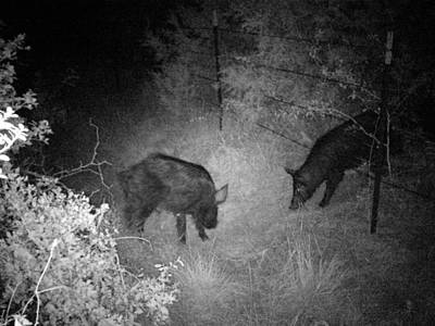 Photograph - Wild Pigs 1 by James Granberry