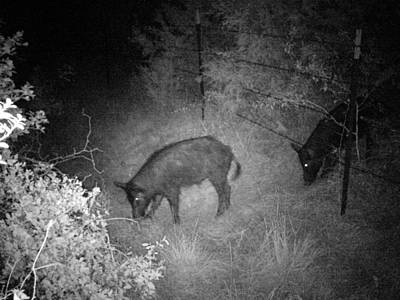 Photograph - Wild Pigs 2 by James Granberry