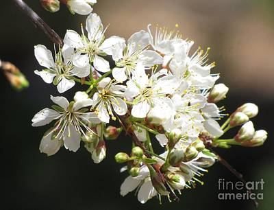 Photograph - Wild Plum  by Michele Penner