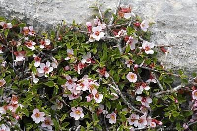 Rosaceae Photograph - Wild Plum (prunus Prostrata) by Bob Gibbons