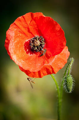 Photograph - Wild Poppy by Chris Boulton