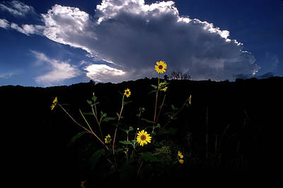 Wild Sunflower With Clouds Art Print