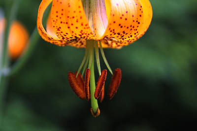 Photograph - Wild Tiger Lily by Cathie Douglas