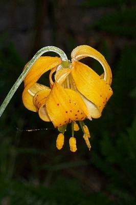 Photograph - Wild Turbin Lily by Pamela Roberts-Aue