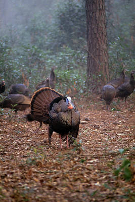 Photograph - Wild Turkey Strutting by David Campione