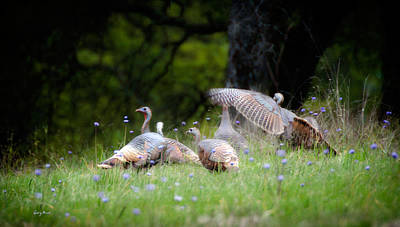 Photograph - Wild Turkeys by Gary Rose