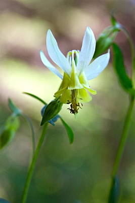 Photograph - Wild Yellow Columbine by Karon Melillo DeVega