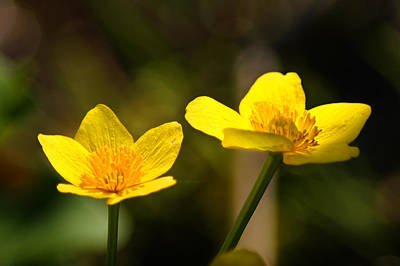 Wild Yellows Print by Bill Pevlor