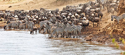 Photograph - Wildebeest And Zebra Before The Crossing by Perla Copernik