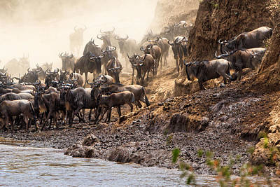 Photograph - Wildebeest Before The Crossing by Perla Copernik