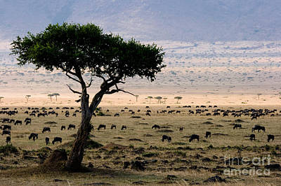 Wildebeest Connochaetes Taurinus Grazing Art Print by Gregory G. Dimijian, M.D.