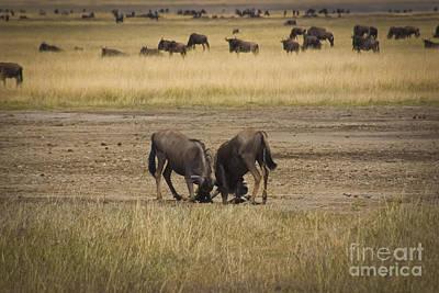 Wildebeest Fight On Guard Art Print