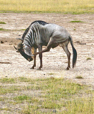 Photograph - Wildebeest by Marie Morrisroe