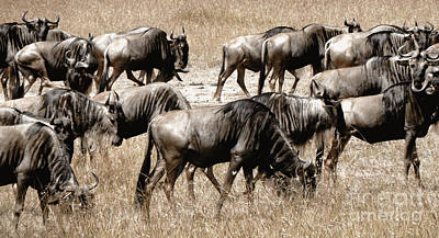 Photograph - Wildebeest by Tina Broccoli