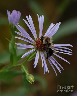 Photograph - Wildflower Bee by Grace Grogan