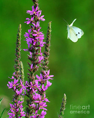Photograph - Wildflower Fairy by Craig Leaper