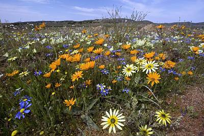 Wildflowers In South Africa Art Print by Bob Gibbons
