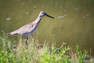 Photograph - Willet By The Canal by Roena King