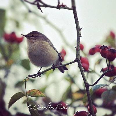 Ornithology Photograph - Willow Warbler Amongst Rosehips by Caroline Coles