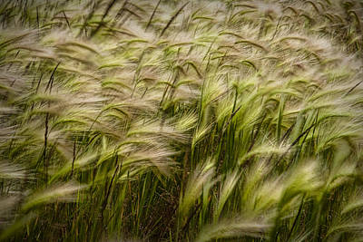 Travel Rights Managed Images - Wind Blown Grain on PEI No.072 Royalty-Free Image by Randall Nyhof