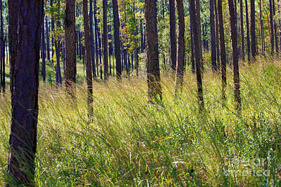 Photograph - Wind Through Mississippi Pines by Carol Groenen