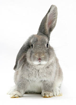 Photograph - Windmill-eared Rabbit by Mark Taylor