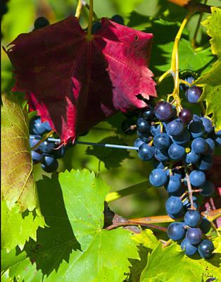 Deciduous Woody Vines Photograph - Wine Grapes by Brian Lambert