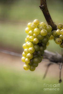 Leda.com Photograph - Wine Grapes by Leslie Leda
