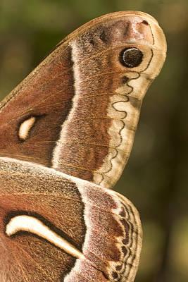 Flutter Photograph - Wing Detail Of A Ceanothus Silk Moth by Phil Schermeister