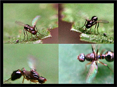 Photograph - Winged Black Ants1 2002 by Glenn Bautista