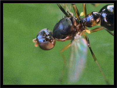 Photograph - Wingedblackants3 2002 by Glenn Bautista